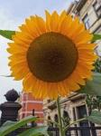 tournesols,jardinets de ville,1030,schaerbeek,harmonie