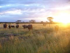 Buffles d'Afrique (african buffalo kenya sur wikimedia commons).jpg