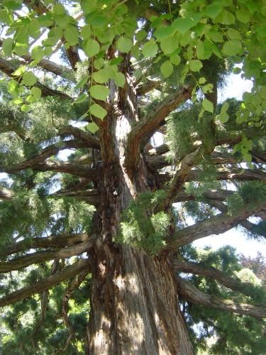 Vieil arbre au bord du Lac Léman.jpg