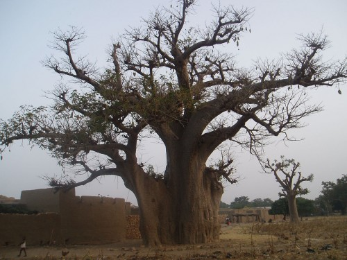 Baobab sur Sigui-travel.jpg