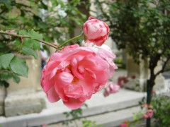 olafsdottir,rosa candida,roman,littérature islandaise,famille,jardin,rose trémière,chiffres,coïncidences,hasard,culture