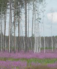 Forêt de bouleaux.JPG