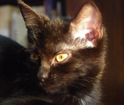 le goût des chats,essai,extraits,chats,littérature,culture