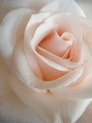 Tsvetaïeva pale-of-rose-jacqueline-migell.jpg