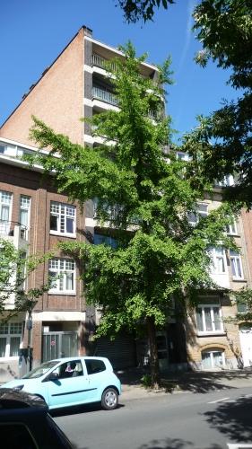 avenue huart hamoir,schaerbeek,balade,promenade,patrimoine,bruxelles,architecture,arbres,ginkgo biloba,culture