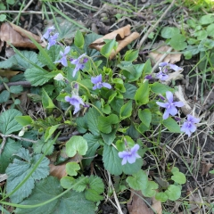 Josaphat 22 mars (33) fleur bleue.jpg