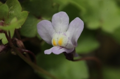 reeves,hubert,j'ai vu une fleur sauvage,l'herbier de malicorne,fleurs,botanique,culture,cymbalaire,linaire,ruine-de-rome