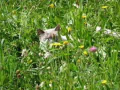 Chat dans l'herbe.JPG