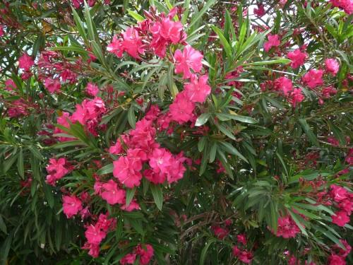 Midi lauriers-roses.JPG