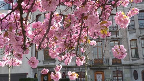 square riga,cerisiers du japon,patrimoine,bruxelles,schaerbeek,arbres,fleurs,japon,promenade,culture