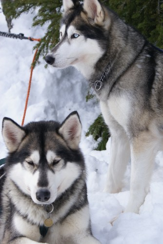 Huskies sibériens.jpg