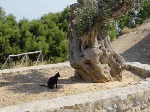 Majorque L'olivier et le chat.jpg