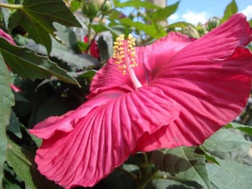 Hibiscus de Lali.jpg
