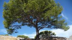 Woolf à Cassis arbre.jpg