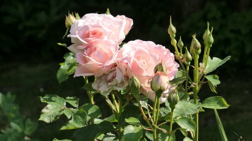 été,2019,jardin,roses,pivoines,fleurs,jardiniers