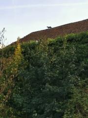 Evere chat sur le toit (3).jpg